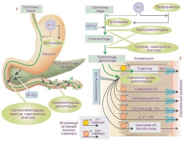 Процесс переваривания белков