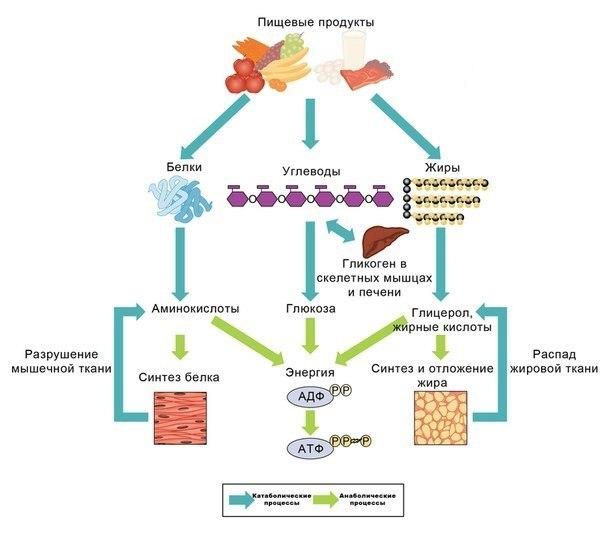 Схема процесса метаболизма